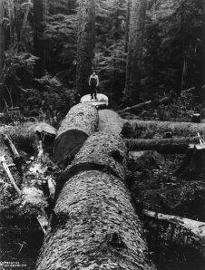 453px-Bucked_Spruce